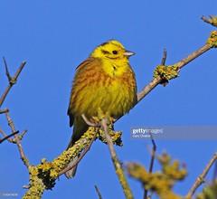 Yellowhammer (Gary Chalker, Thanks for over 4,000,000. views) Tags: finch yellowhammer bird pentax pentaxk3ii k3ii pentaxfa600mmf4edif fa600mmf4edif fa600mm 600mm
