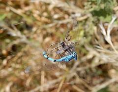 Another Damsel in distress! (rockwolf) Tags: damselfly odonata libellule spider arachnid insect predator prey uptonmagna shropshire rockwolf