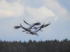 Grues cendrées (chriscrst photo66) Tags: bird animal oiseau grues vol gironde photographie nature wildlife photography nuages nikon