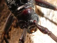 Longicorn Beetle - head detail (glcoote) Tags: southaustralia sa southaustralian gregcoote cerambycidae longicornbeetle gilberton gilbertonwoodland vpop