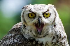 look at me (Mary Bassani) Tags: owl gufo mirada eyes birds birdofprey naturaleza animal portrait canon canonphotographer