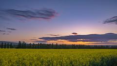 Rapsfeld am Morgen (markusgeisse) Tags: morgendämmerung feld mohn gelb landschaft