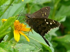 Urbanus dorantes (LPJC) Tags: quebradagarza panama 2018 lpjc butterfly urbanusdorantes skipper