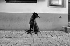 Dog in Bamberg, Germany (Yvo Kaptein) Tags: dog street blackandwhite bamberg germany lonely deutschland
