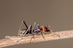 D75_7117 (crispiks) Tags: ants spider prey web death its bugs life insects macro close up nikon d750 105mm micro f28 r1c1 mount pilot national park north east victoria andersons track chiltern