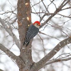 088. Woodpecker (Misty Garrick) Tags: arboretum universityofminnesotalandscapearboretum landscapearboretum flowershow bird birds birding