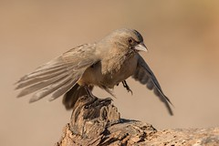 Abert's Towhee / Schwarzkinn-Grundammer ( Melozone aberti ) Tucson / Arizona (@Thomas Neuber) Tags: arizona usa tucson natur fantasticnatur vogel bird