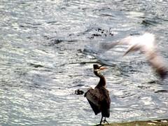 a heron and a seagull having a discussion (lualba) Tags: heron seagull reiher möwe birds sea meer vogel wellen waves portscatho england