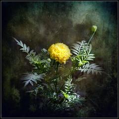 Marigold (ulli_p) Tags: asia art artofimages awardtree blossoms canon750d flowers light likeapainting marigold nature ruralthailand southeastasia thailand texture textured texturedphoto
