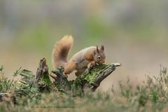 Curiosity! (Louise Morris (looloobey)) Tags: 34i0990 redsquirrel sciurrusvulgaris hide neilmcintyre highlands february2019 neil andy rob ian robin wendy forest morning log curious