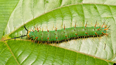 Catonephele acontius (Eerika Schulz) Tags: caterpillar schmetterlingsraupe raupe ecuador puyo eerika schulz catonephele acontius