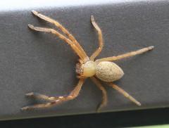 Huntsman spider (surprisingly docile) (iainrmacaulay) Tags: australia qld huntsman spider sparassidae