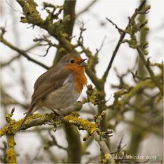 Robin (Huddsbirder) Tags: huddsbirder blacktoftsands robin fe70300mm sony a6500