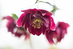 christmasrose 3773 (junjiaoyama (missing mail trouble)) Tags: japan flower plant christmasrose helleborus nigera red spring macro bokeh