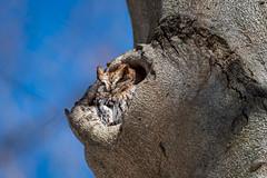 AsleepInTheWoods (jmishefske) Tags: wisconsin milwaukee seminary nikon owl march tree bird beech stfrancis d500 rufous 2019 screech morph