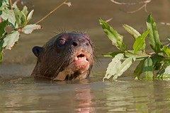 Giant Otter (aivar.mikko) Tags: giantotter giant otter pteronurabrasiliensis pteronura brasiliensis river pantanal brazil carnivorous mammal southamerica animals porto jofre animal matogrosso mato grosso south america transpantaneira wetlands wildlife southamerican brazilian coth5