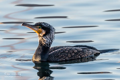 Grand Cormoran adulte en plumage nuptiel - 4497 (Luc TORRES) Tags: grand cormoran nuptial léman delte de la dranse deltadeladranse thononlesbains hautesavoie oiseaux palmipède grandcormoran france phalacrocoraxcarbo greatcormorant imagespassionfr