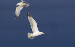 Ring-billed Gull (Kremlken) Tags: gulls pennsylvania crawfordcounty birds birding birdwatching nikon500 spring birdsinflight