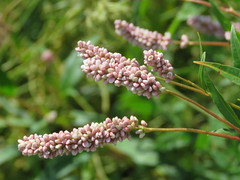 repetition (Cheryl Dunlop Molin) Tags: indianawildflowers pinkwildflowers wildflower