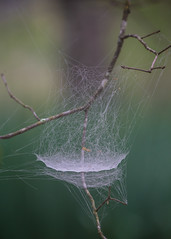 casting the net (Mr. Greenjeans) Tags: sheetweb spiderweb tangled