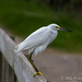 Snowy Egret On Spillway Bridge