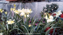 White Daffodil flowers in trough on balcony floor 30th March 2019 (D@viD_2.011) Tags: white daffodil flower trough balcony floor up close 30th march 2019