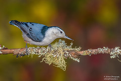 White-breasted nuthatch (salmoteb@rogers.com) Tags: bird wild outdoor nature wildlife ontario canada whitebreasted nuthatch animal perch color