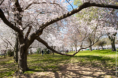 DC Cherry Blossom Festival (Snapping Beauty) Tags: years spring landscape flowers nature flower abstract washingtondc old textures seasons blue things scenery beautyinnature tree cherryblossomfestival bark floral colors sunlight petal bloom places white