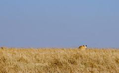 Maasai Mara, Kenya (Ninara31) Tags: maasaimara mara masai kenya wildlife safari cheetah lion buffalo bird leopard elephant pantheraleo africa