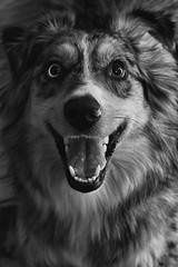 With a Dash of Crazy (flashfix) Tags: april072019 2019inphotos flashfix flashfixphotography ottawa ontario canada nikond7100 40mm portrait sock dog canine animal pet austrailanshepherd triaustrailanshepherd bluemerle tricolour heterochromia happy waiting play monochrome blackandwhite