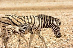 Zebra @ Gemsbokvlakte (cb dg photo) Tags: safari stripes gemsbokvlakte waterhole vacation desert travel namibia africa etoshanationalpark etosha wildlifephotography wildlife animal baby zebra