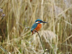 Kingfisher DSCN4113 (ianpreston) Tags: 2019 willington derbyshirewildlifetrust derbyshire kingfisher coot