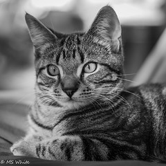 Kitten wonderment. (SpyderMarley) Tags: marley tabby cat kitten portrait outside lounging nikdond750 tokina100mm domesticshorthair