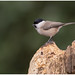 Marsh Tit - Glanskop (Poecile palustris) ...