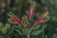 D75_6765 (crispiks) Tags: nikon d750 105mm f28 micro r1c1 albury botanical gardens new south wales