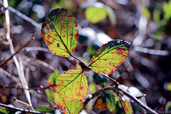 Winter lights bokeh (_chloechappell) Tags: dorking walking winter light lights lighting sunlight bokeh bright macro green red leaf leaves sharp dof depth depthoffield detail design lines canon canoncamera canon700d closeup colourful camera circles colorful nature natur natural