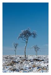 Birches on on a winter moor (fishyfish_arcade) Tags: 18140mm d3200 landscape nikon peakdistrict trees snow winter nikon18140mmf3556gedvr