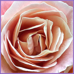 What's in a name? That which we call a rose, by any other name would smell as sweet. (~Ingeborg~) Tags: meinge rose roos amsterdam home thuis soft zacht salmonpink zalmroze sweet zoet liefde love phone gocrazy doeeensgek macro closeup graydaytoday grijzedagvandaag vandaag today