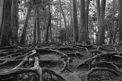 roots (ababhastopographer) Tags: kyoto kuramadera kuramayama mtkurama kinonemichi cedar oak root winter midday acros graytones 京都 鞍馬山 鞍馬寺 木の根道 スギ 杉 カシ 樫 quercus cryptomeriajaponica