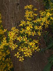 Senecio scandens 千里光 (小铖smalltown) Tags: senecio asteraceae