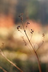 Dried up (Schagie) Tags: winter natuur nature bloem flower bos forest bokeh beauty small mooi kleins droog dry