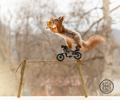 red squirrel is rope balancing on a motor cycle with peanuts (Geert Weggen) Tags: motorcycle redsquirrel stuntingsquirrel cycle motor red squirrel wire act animal balance bike card care celebration circus close color concepts cute funny happy holiday rope height stick nut food peanut geert weggen ragunda sweden bispgården jämtland geertweggen hardeko