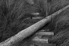 fallen tree disused boardwalk, florida 2019 (Clayton Percy) Tags: florida wetland marsh b blackwhite bw