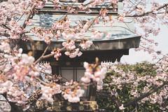 0647 (YamatoHishino) Tags: flower plum plumblossom plumblossoms japan japanese shrine landscape blossom blossoms kyoto 嵐山 arashiyama pink nature sony α7 α7ⅲ tamron tamron2875 花 梅 梅花