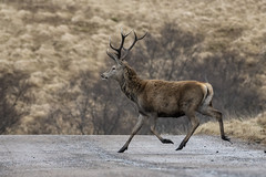 """'Deer crossing"""" (cazalegg) Tags: scotland stag road deer red nikon wildlife nature d500 200500mm"""