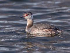 Horned Grebe in winter plumage (Bill McDonald 2016) Tags: grebe horned winter march 2019 swimming lake ontario canada pretty cute billmcdonald redeye