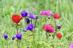 Anemonen (Karin Michies) Tags: botanischetuinen botanischetuinenutrecht universiteitutrecht utrechtuniversity botanicalgardens bloemen flowers natuur nature anemoon anemone