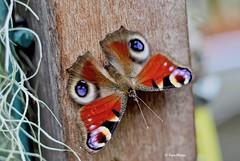 Dagpauwoog (Karin Michies) Tags: botanischetuinen botanischetuinenutrecht universiteitutrecht utrechtuniversity botanicalgardens vlinder papillon dier animal butterfly dagpauwoog