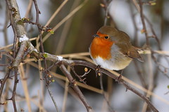 Spring is round the corner! (Hilltopender) Tags: robin birds snow winter redbreast