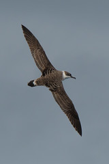 Great Shearwater (Tim Melling) Tags: ardenna puffinus gravis great shearwater south atlantic timmelling